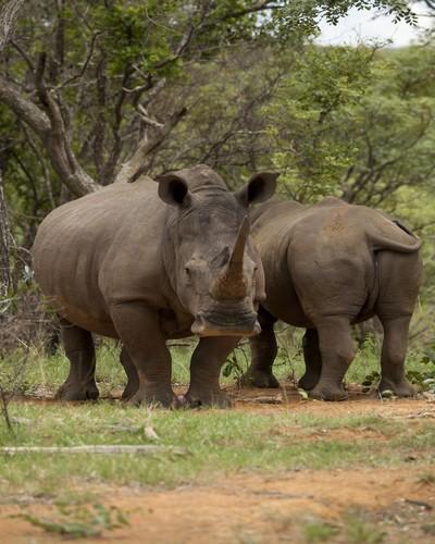 Mhondoro-Game-Lodge-Rhino-Welgevonden