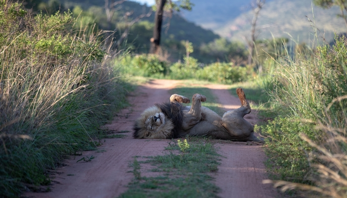 Mhondoro-Safari-Lodge-Villa-Safari-Lion