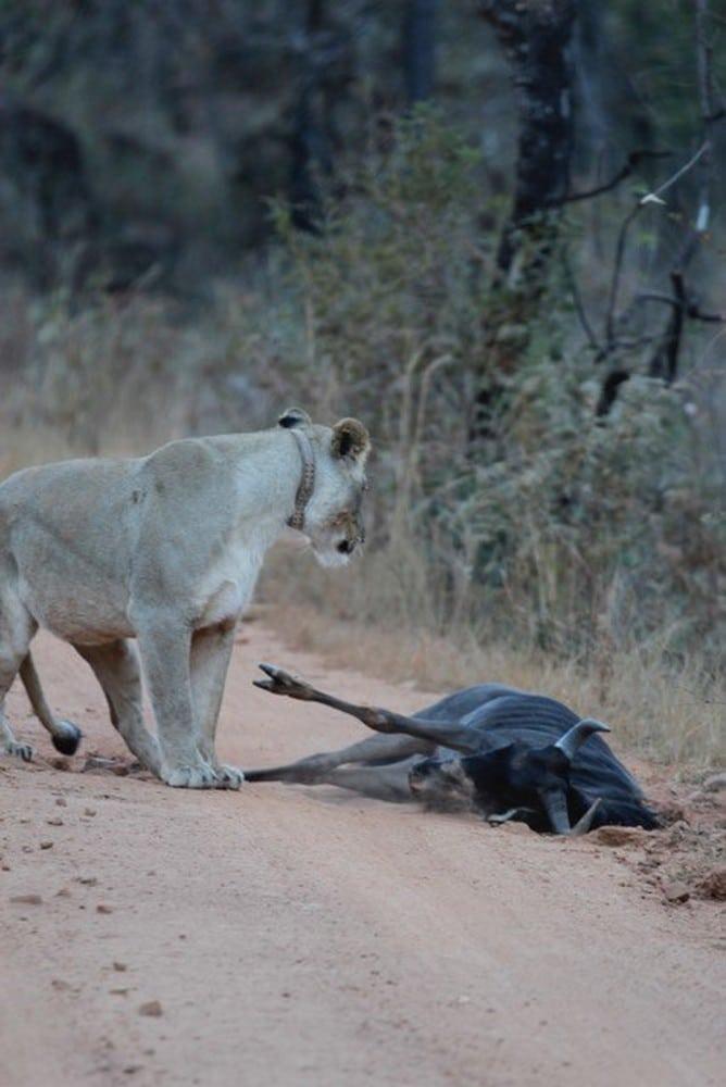 Lioness-Rangers-Diary-Welgevonden-Mhondoro-3