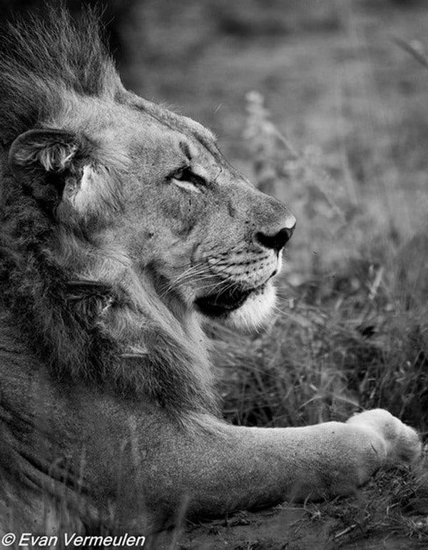 Mhondoro-Game-Lodge-Lion-Track