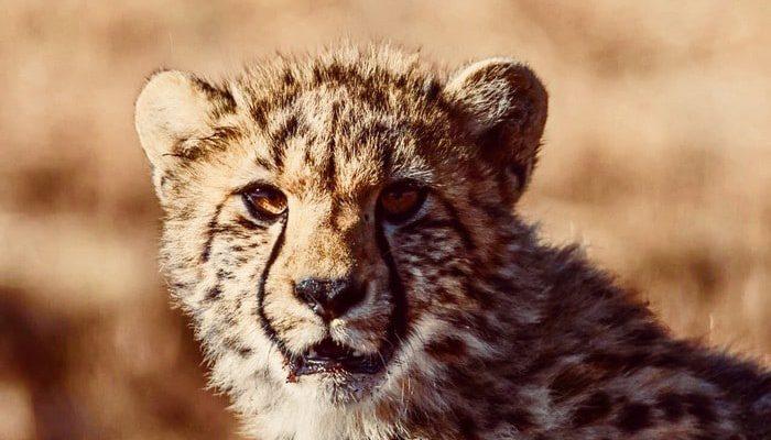 Mhondoro-Safari-Lodge-Villa-Cheetah-700x400
