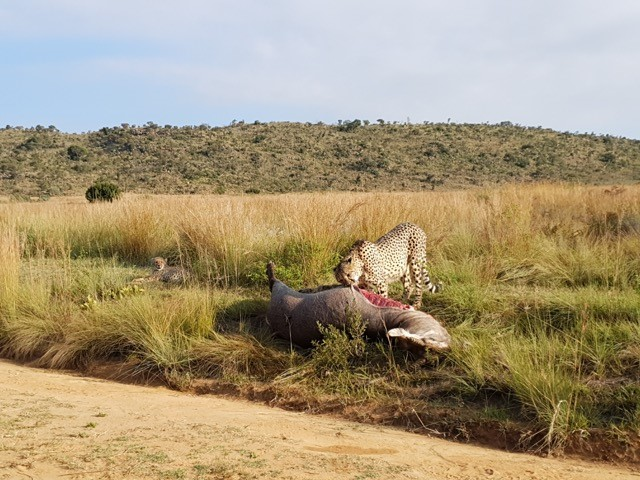 Mhondoro-Safari-Lodge-Villa-Mother-Cheetah-1