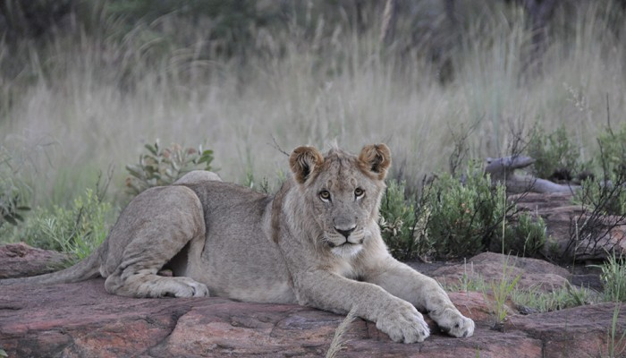 Mhondoro-game-lodge-young-lion-700x400