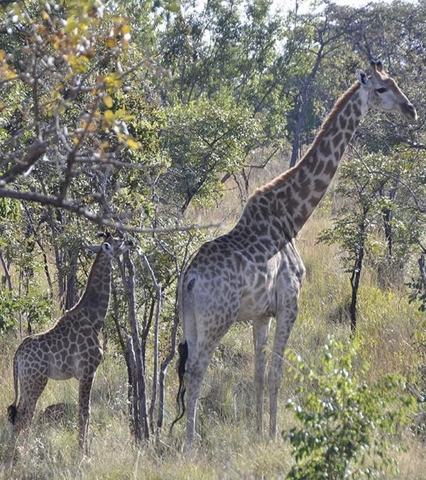 mhondoro-game-lodge-giraffe (1)
