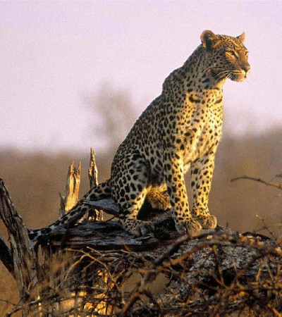 Mhondoro-Safari-Lodge-Villa-Leopard
