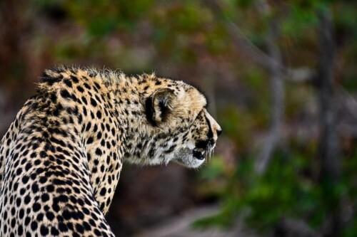 Cheetah-Mhondoro-Gamelodge-safari