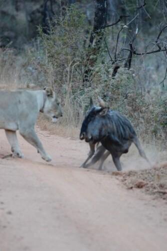 Lioness-Rangers-Diary-Welgevonden-Mhondoro-4