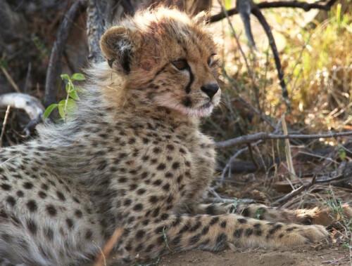 Mhondoro-Game-Lodge-Baby-cheetah