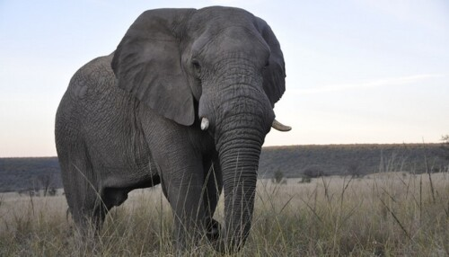Mhondoro-Game-Lodge-Elephant-Giant-Welgevonden