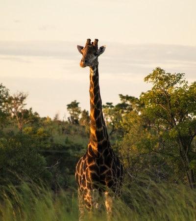 Mhondoro-Game-Lodge-Giraffe