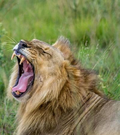 Mhondoro-Game-Lodge-Safari-Lion