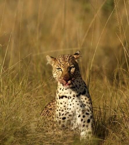 Mhondoro-Game-Lodge-South-Africa-Safari-Lodge-Leopard