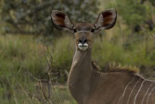 mhondoro-game-lodge-kudu